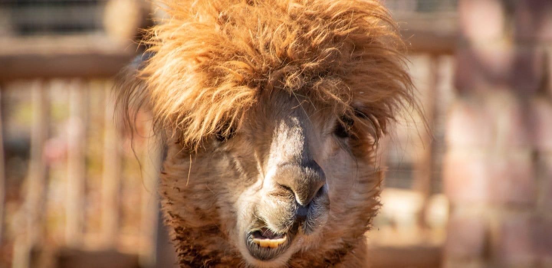 Camel Meme Digital Ape